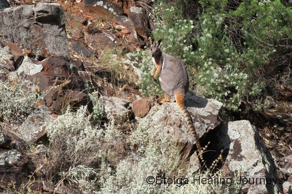 Yellow Footed Rock Wallaby in Middle Gorge