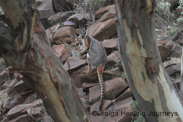 Another Yellow-Footed Rock Wallaby in Middle Gorge