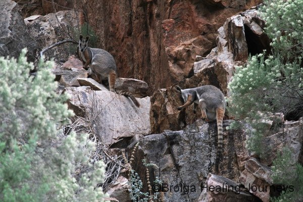 Two well-camouflaged Yellow-Footed Rock Wallabies in Middle Gorge