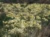 Andamooka Lilies.