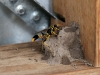 A hornet makes its mud nest in an observation hut