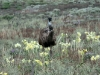 An Emu strolls through the native lilies on Buckaringa