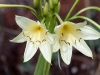 Another close-up of the native Andamooka Lily