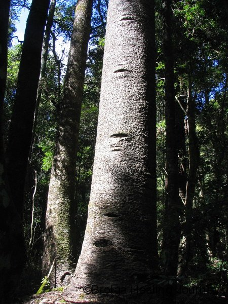 Bunya Pine, trunk showing scarring of footholds cut long ago by Aboriginal climbers