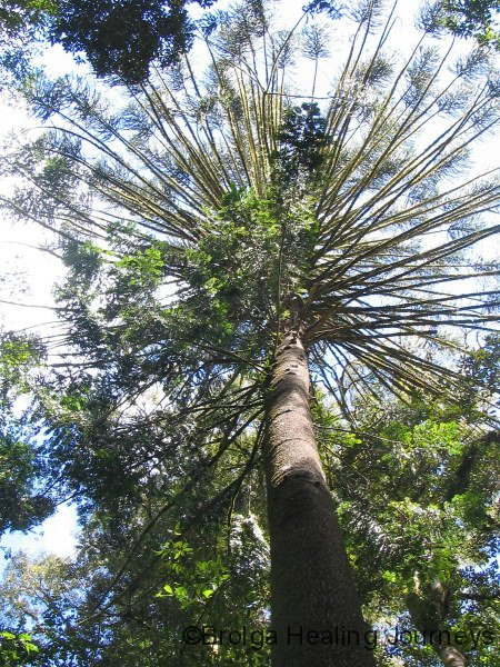 High canopy of Bunya Pine