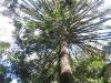 High canopy of Bunya Pine