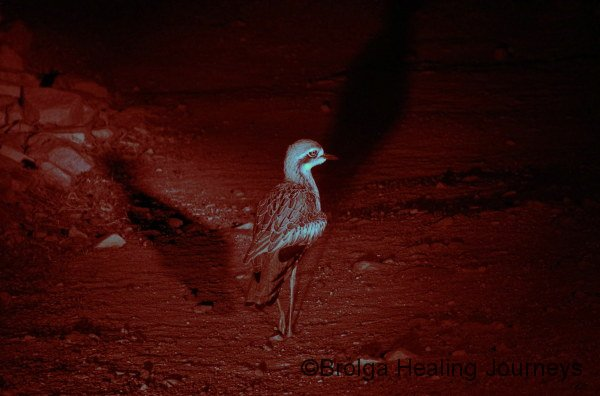 A wild Bush Stone-Curlew on the prowl.  On the Nocturnal Tour, outside at the Alice Springs Desert Park