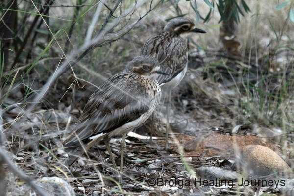 Two wild Bush Stone-Curlews stand in the woodland at the Alice Springs Desert Park
