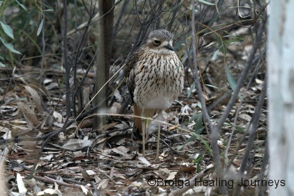 Front view of a Bush Stone-Curlew highlighting its beautiful chest markings.