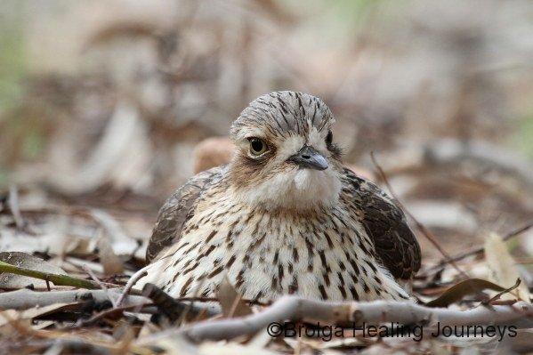 Female on nest