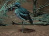 The only 'captive' bird among these photos.  In the Nocturnal House, Alice Springs Desert Park.