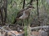 Another Bush Stone-Curlew