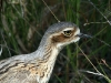 Close-up showing the beautiful eye of the Bush Stone-Curlew