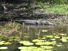 Saltwater Crocodile, Yellow Waters Billabong, Kakadu Ntl Pk