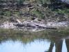 Saltwater (Estuarine) Crocodile, Marglu Billabong, near Wyndham WA