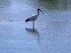 No, we didn't get it wrong.  We hope the Ibis also saw the croc sneaking up behind it.