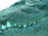 Taken in captivity, closeup of Saltwater croc at the Alice Springs Reptile Centre