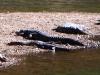 Freshwater (Johnstone's) Crocodiles, Windjana Gorge, the Kimberley WA