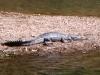 Freshwater (Johnstone's) Crocodile, Windjana Gorge, the Kimberley WA