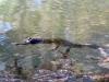 Baby Freshwater Crocodile, Dimond Gorge, Mornington Wilderness Conservancy WA