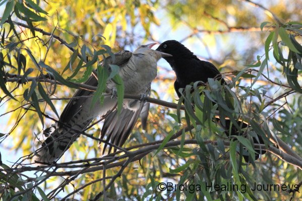 Fed by the other 'parent' Crow.