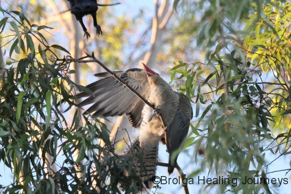 The fledgling Channel-Billed Cuckoo grows excited as its Crow 'parent' flies in to feed it. Crow top left