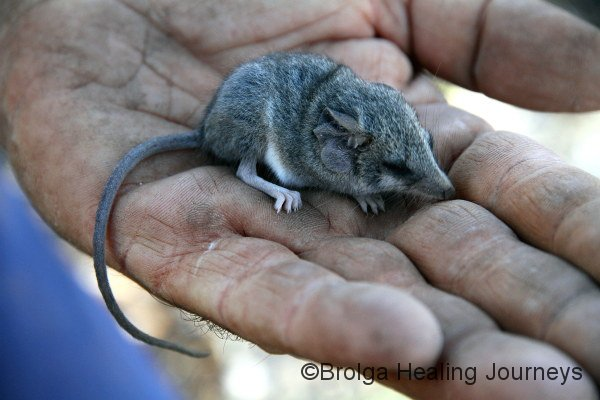 Another Little Long Tailed Dunnart. As cute as a button.