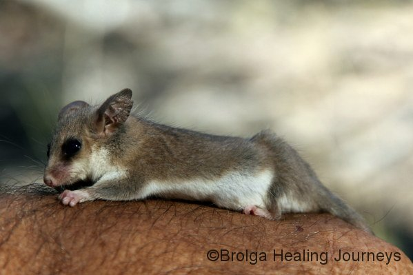 A female Western Pygmy Possum.  We all adored these tiny marsupials.
