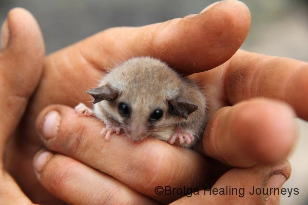 Western Pygmy Possum.  How could anyone resist that face?
