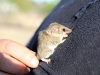 A Little Long Tailed Dunnart gets acquainted with Dr Matt Hayward's jacket