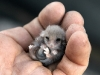 Australia's wildlife is in safe hands with the AWC. A juvenile Western Pygmy Possum, beautiful, irresistable and fragile.