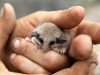 Another view of the Western Pygmy Possum.