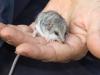 Little Long Tailed Dunnart