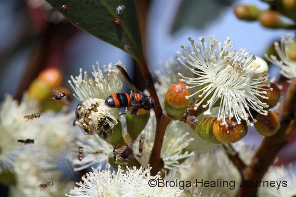 A mass of native bees and wasps flock to a newly opened gum blossum.