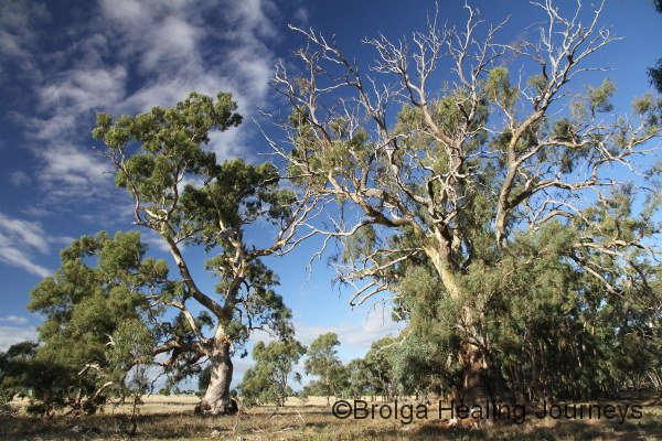 Two giant Red Gums.  There were pockets of Red Gum across Dakalanta
