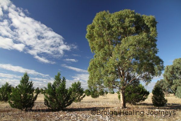 Young Red Gum and Native Pines