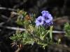 A tiny native flower.  I'm yet to identify it.