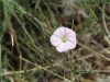 Tiny wildflower, I think in the mallow/hibiscus family.
