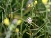 Another of the tiny, abundant snails on Dakalanta