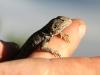 Earless Dragon, Tympanocryptis tetraporophora I think