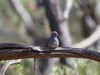 Diamond Dove, MacDonnell Ranges NT