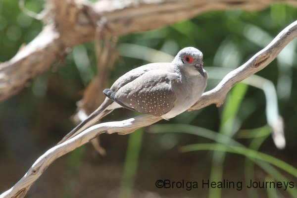 Diamond Dove, Serpentine Chalet region, West MacDonnell Ranges NT