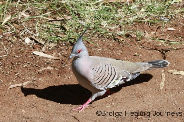 Crested Pigeon, a frequent visitor at Alice Springs