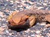 Central Bearded Dragon, acting as a road block, East MacDonnell Ranges NT