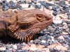 Close-up of Central Bearded Dragon, East MacDonnell Ranges NT