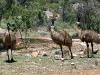 adult-emus-taking-a-strolll-mt-remarkable-ntl-pk-sth-aust_0
