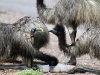 Wait your turn!  Juvenile emus drink from dish at Mt Remarkable Ntl Pk, South Aust