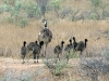 father-emu-takes-the-chicks-for-a-stroll-near-wilpena-pound-sth-aust_0