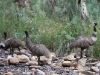 Father emu and juveniles in Mambray Creek, Mt Remarkable Ntl Pk