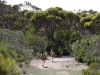 Two large adult emus stroll along the track from Browns Beach to Gym Beach, Innes Ntl Pk